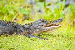由佛罗里达沼泽地的野生鳄鱼 库存照片