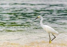 由公园全国tayrona的白鹭在哥伦比亚 免版税库存图片