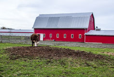 由农场的大红色谷仓威胁吃草 免版税库存照片