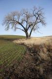 由农田的老结构树。 库存图片