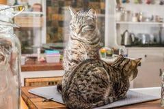 由厨房的两只猫 库存图片