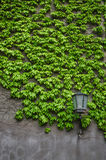 由叶子绿色墙壁的自然常春藤成长  古典灯笼逗留单独近的墙壁 库存照片