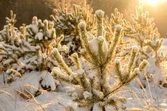 由后照由在雪的阳光年轻冷杉木 免版税图库摄影