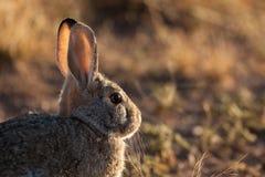 由后照的棉尾巴兔子 免版税图库摄影