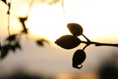 由后照的森林的果子 免版税图库摄影
