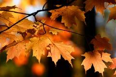 由后照的秋天留下桔子 免版税库存照片