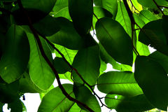 由后照的绿色叶子是自然摘要背景 库存照片