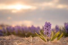 由后照的Hyacinthus在晚上 免版税库存照片