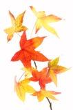 由后面照的叶子槭树 免版税库存图片