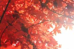 由后面照的叶子槭树 免版税图库摄影