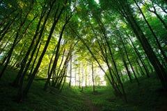 由后面照的神秘的绿色森林太阳 免版税库存图片