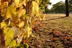由后面照的秋叶 免版税库存图片