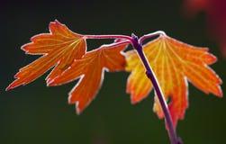 由后面照的秋天叶子 免版税图库摄影