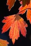 由后面照的秋天金黄叶子 免版税库存图片