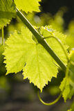 由后面照的葡萄叶子 免版税库存图片