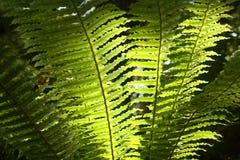 由后面照的蕨叶状体 免版税库存照片