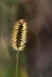 由后面照的野生长毛的植物 库存照片