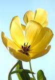 由后面照的阳光郁金香黄色 免版税库存图片