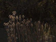 由后面照的香蒲厂在庭院里 免版税库存图片