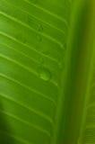 由后面照的香蕉叶子 免版税图库摄影