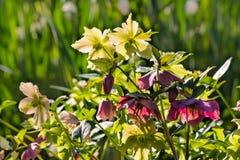 由后面照的黄色和紫色黑黎芦群 库存图片