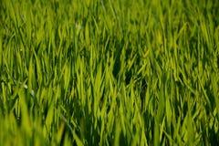 由后面照的年轻绿色麦子植物 免版税库存照片