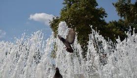 由喷泉的边的城市鸽子 免版税库存图片