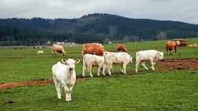 由在春天牧场地的小牛 图库摄影