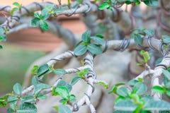 由在Adenium树盆景样式的导线控制分支或沙漠在花盆上升了 图库摄影