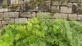 由墙壁的绿色蕨 免版税图库摄影
