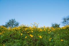 由墨西哥向日葵的黄色山 库存图片