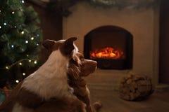 由壁炉的两条狗 杰克罗素狗和新斯科舍 库存图片
