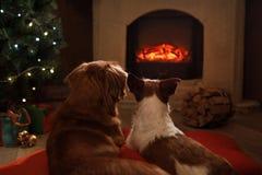 由壁炉的两条狗 杰克罗素狗和新斯科舍 图库摄影