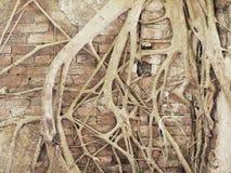 由大树根的古老废墟墙壁盖子 免版税图库摄影