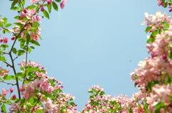 由天堂苹果树花的框架  免版税库存图片