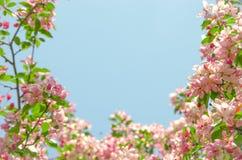由天堂苹果树花的框架  库存照片