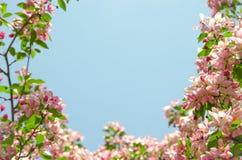 由天堂苹果树花的框架  库存图片