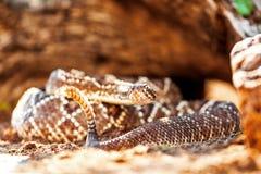 由岩石的有毒南美响尾蛇 免版税库存图片