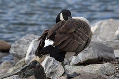 由岩石的鸭子 免版税图库摄影