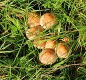 由日出的森林地蘑菇 库存照片