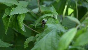 由昆虫的莓授粉,蜂从莓花收集花蜜 股票录像