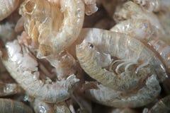 由显微镜的干Gammarus pulex 小甲壳动物的端足目 水族馆哺养适用于鱼,爬行动物,鸟 免版税库存照片