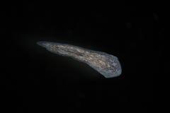 由显微镜的涡虫扁虫Planaria 淡水微观野生自然和水族馆居民 免版税图库摄影