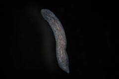 由显微镜的涡虫扁虫Planaria 淡水微观野生自然和水族馆居民 免版税库存图片