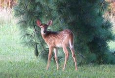 由杉树的小鹿 免版税库存图片