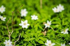 由枝杈的五叶银莲花 免版税图库摄影