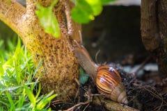 由树决定的一次蜗牛攀登在庭院 免版税库存图片