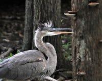 由树的伟大蓝色的苍鹭的巢 库存照片