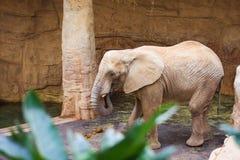 由树的孤立大象 库存图片