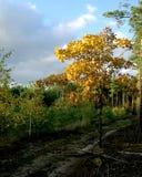 由森林公路的年轻橡木 免版税库存图片